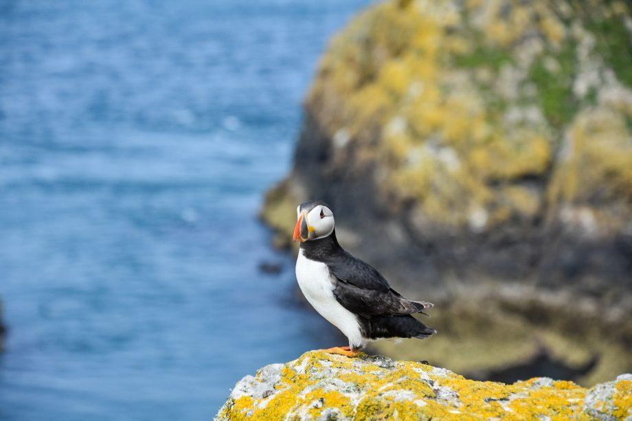 puffin sull'isola di skomer