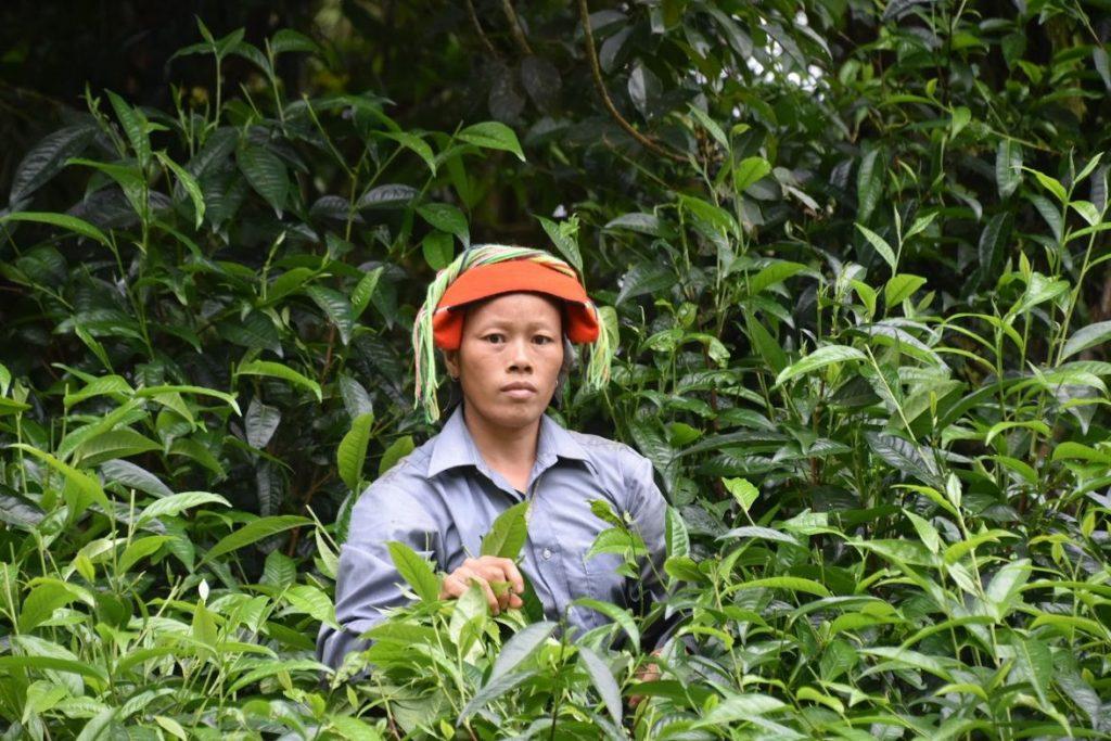piante da thè