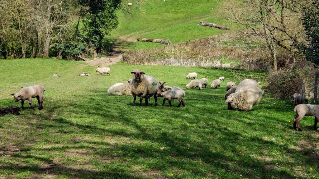 pecore delle cotswolds