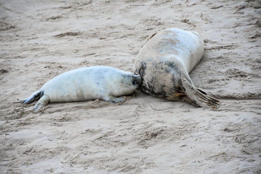 la foca allatta il suo cucciolo