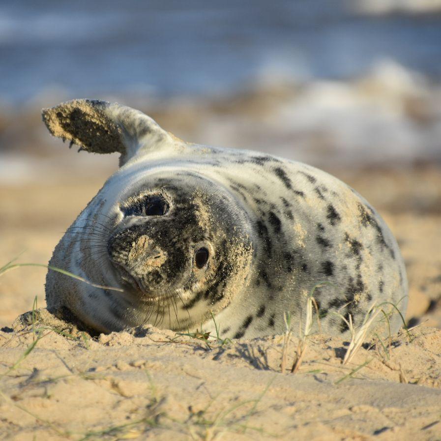 foca grigia del Norfolk
