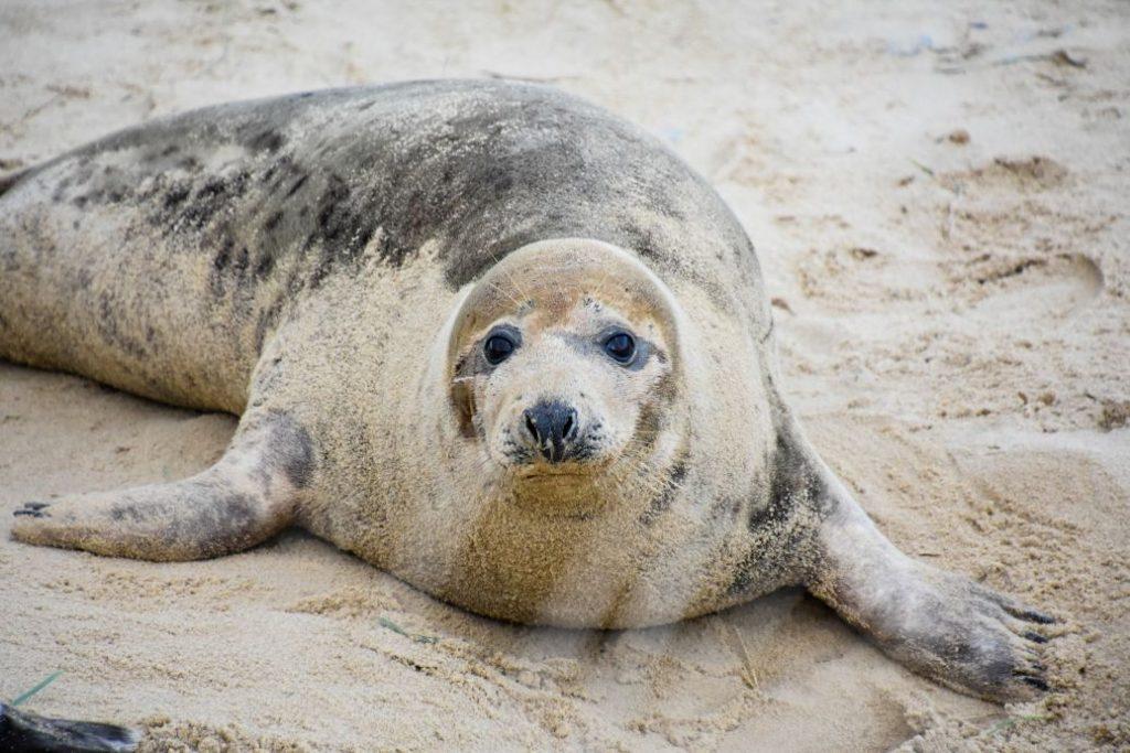 foca grigia