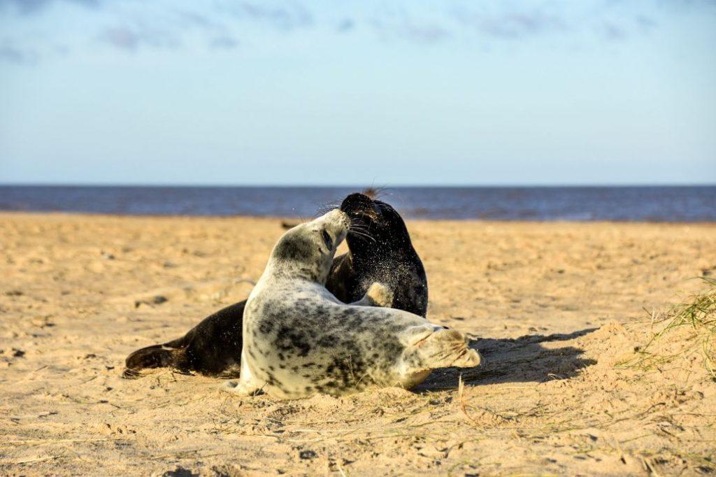 foche grigie a Horsey Beach