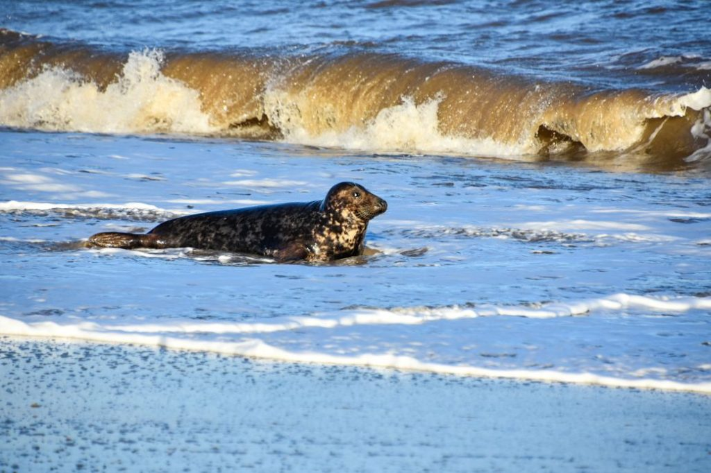 foca grigia a Norfolk