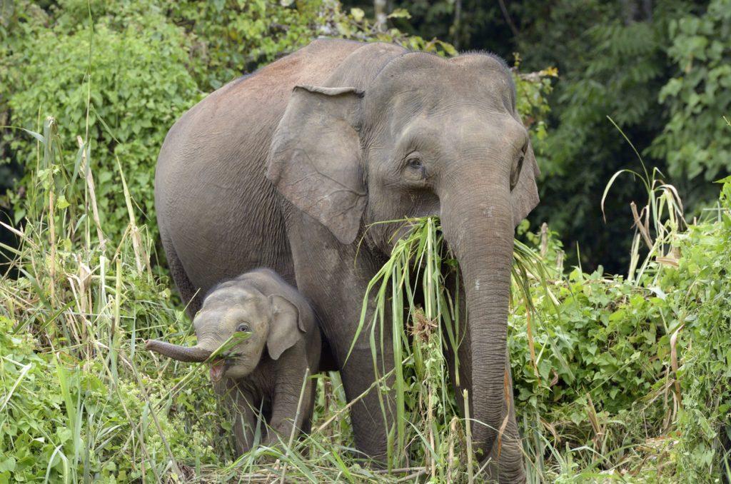 elefante pigmeo