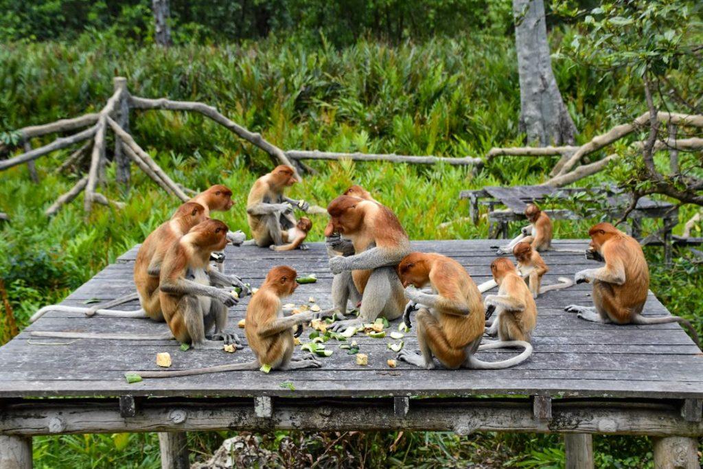 scimmia proboscide