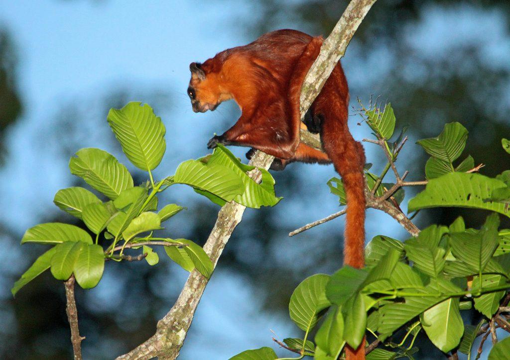 scoiattolo volante rosso