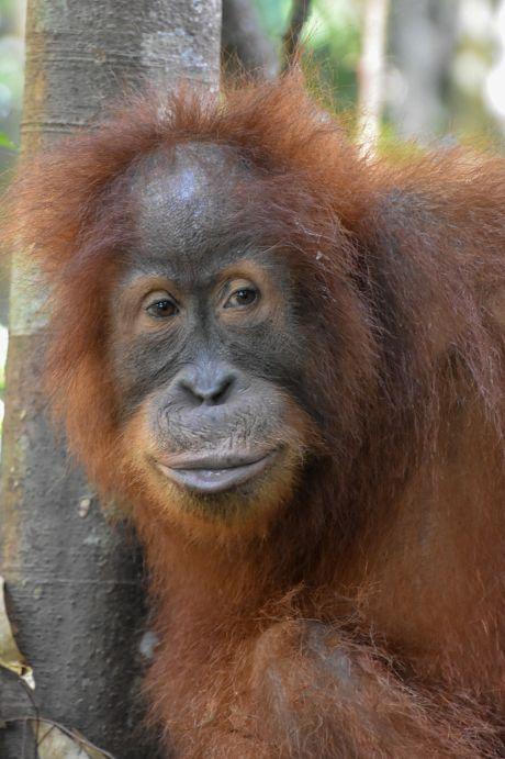 orango di sumatra