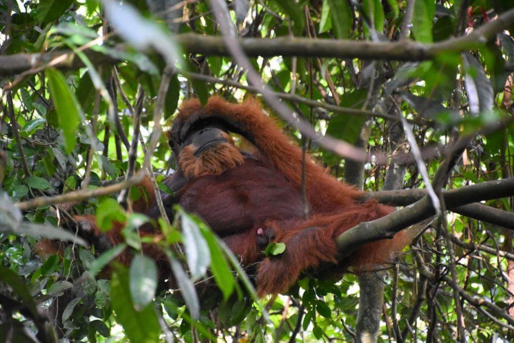 mina orango di sumatra
