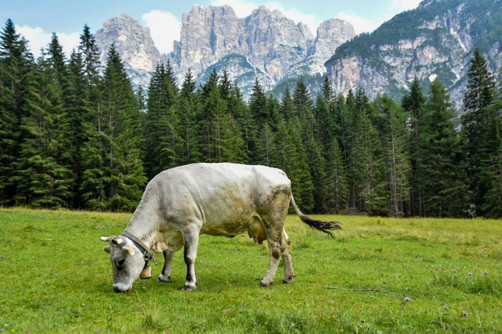 mucca di malga pramper